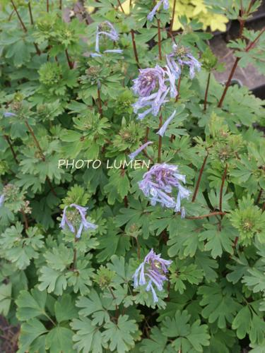 Corydalis  'Spinners'