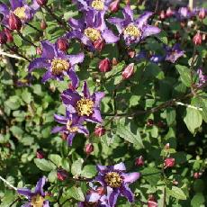 Clematis  'ExcitingR Zoexci'