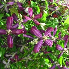 Clematis  'Sweet Summer love®'