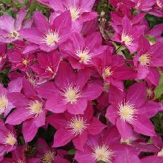 Clematis  'Freedom'